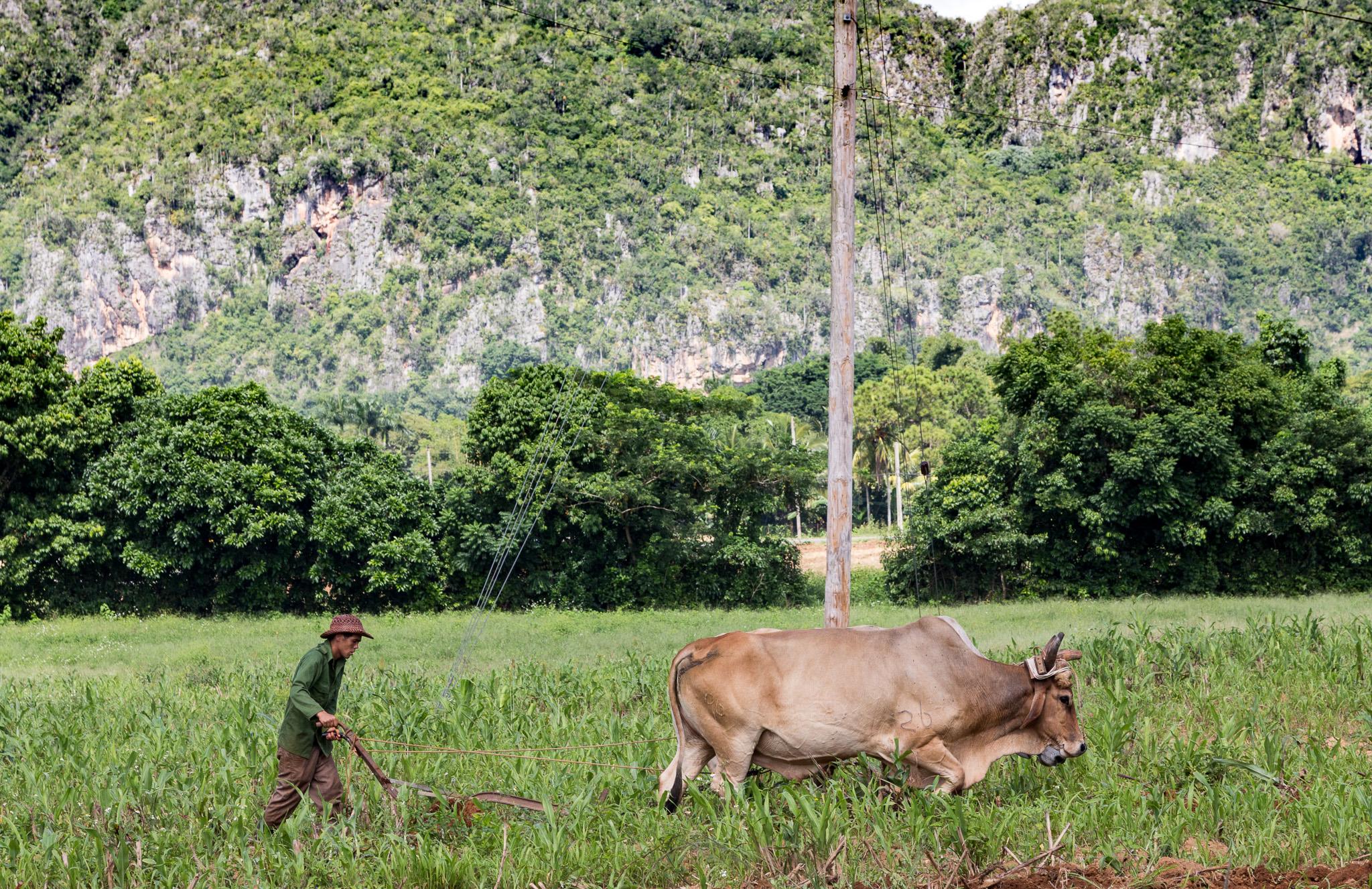 Mit dem Pflug bereitet ein Bauer das Feld für die Aussaat von Tabak vor. Viñales, Kuba