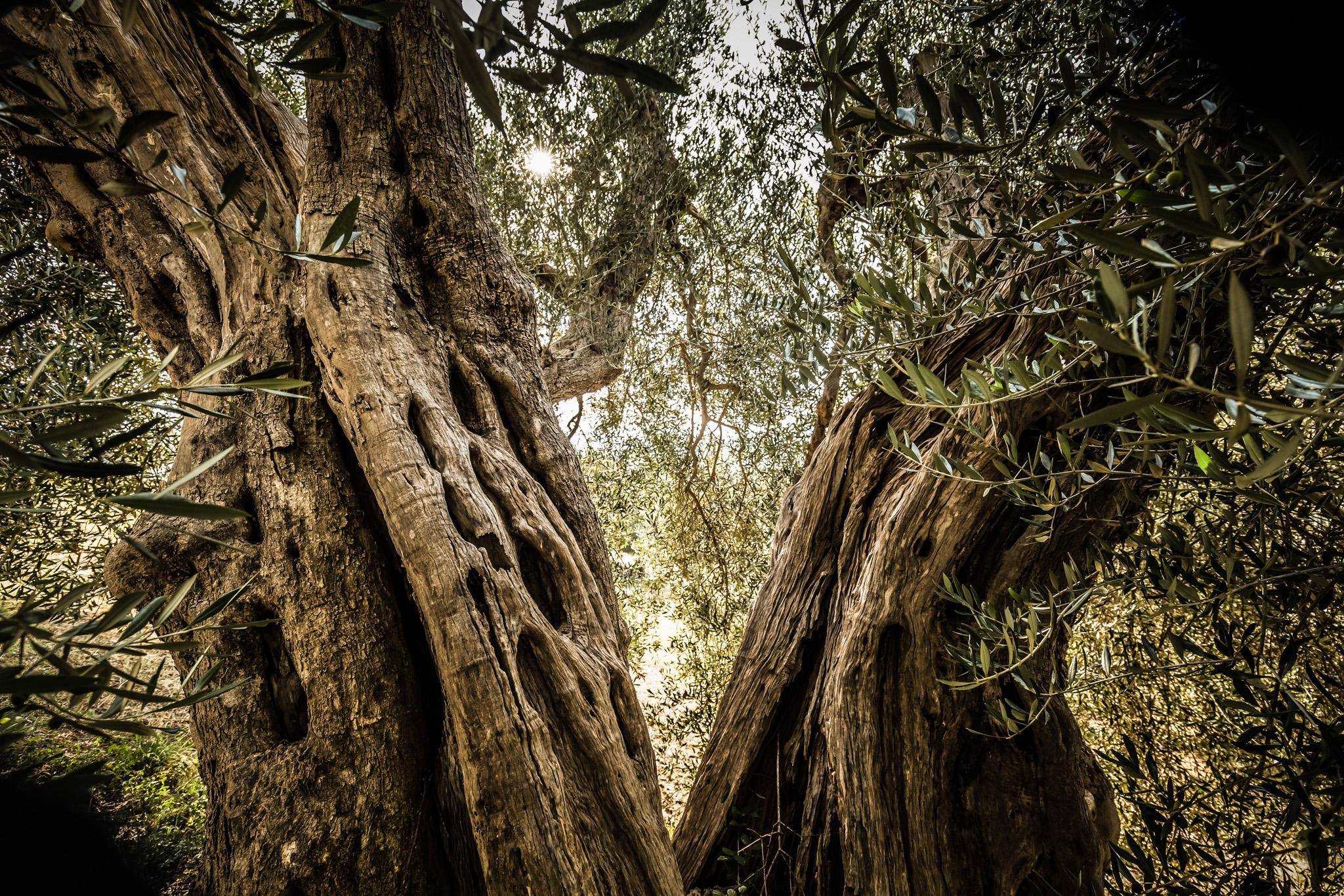 900 Jahre alte Olivenbäume in der Maremma