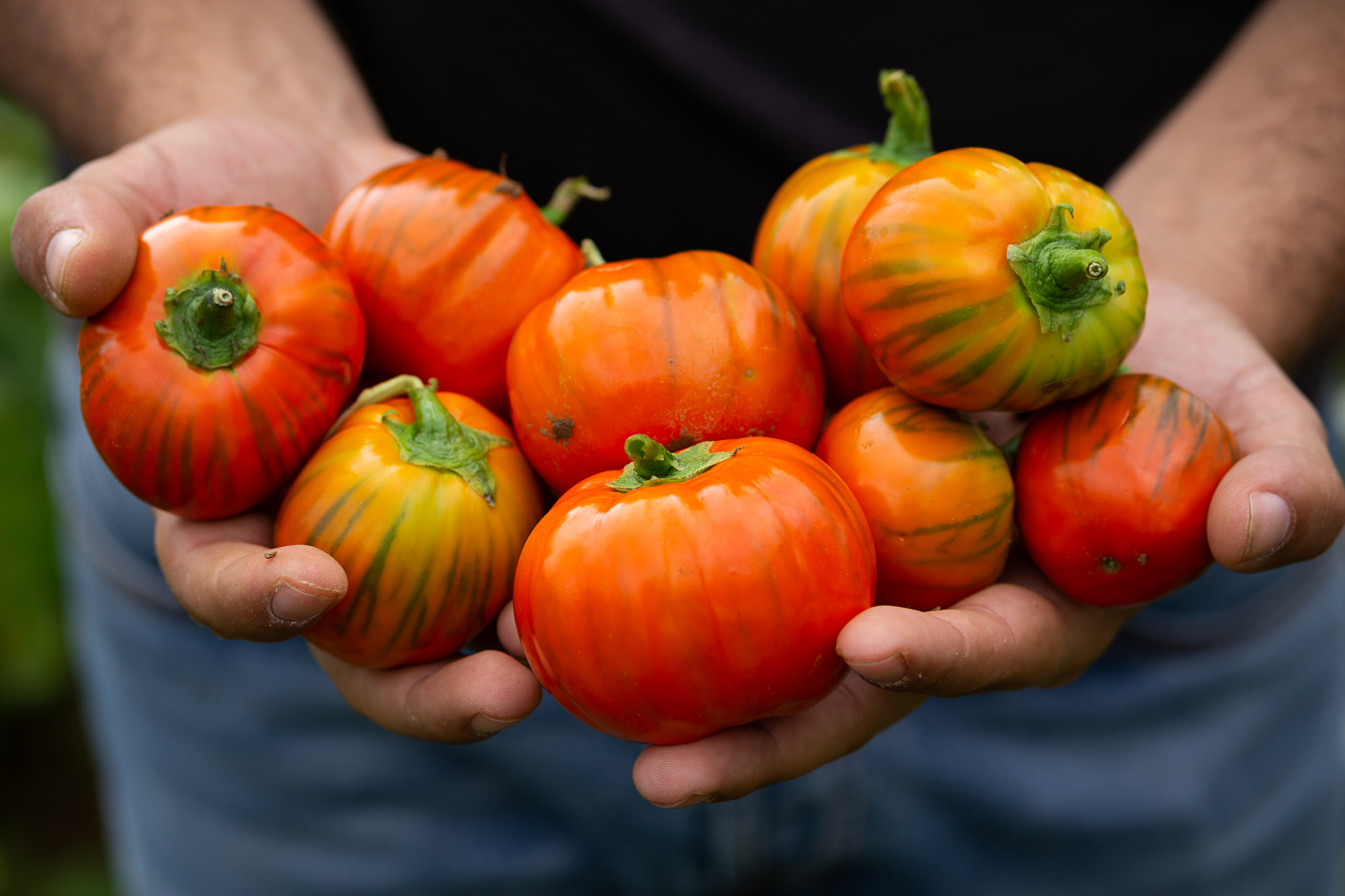 La Melanzana rossa di Rotonda. D.O.P.-Gemüse aus Kalabrien.